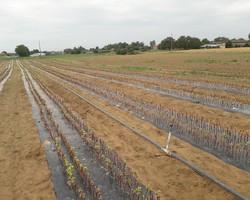 Plants de vigne à la pépinière - Domaine Calot - Villié Morgon