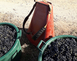 Vendange vin rouge, beaujolais - Lyon - Domaine Calot