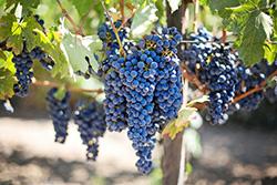 Le domaine Morgon Calot a reçu 2 médailles d'Or pour son vin Morgon Cuvée Jeanne